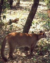Puma Belize Zoo